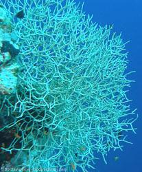BD-071214-Tiran-141883-Coral.jpg