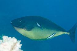 BD-150223-Sharm-6462-Acanthurus-sp.-Forsskål.-1775.jpg