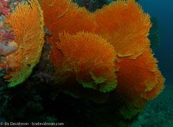 BD-070330-Similan--Coral.jpg