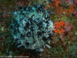 BD-070331-Similan-3310843-Coral.jpg