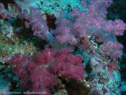 BD-070401-Similan-4010932-Coral.jpg