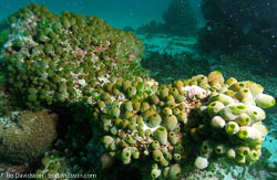 BD-070403-Similan--Coral-4.jpg