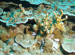BD-070403-Similan--Coral.jpg