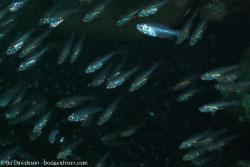 BD-070403-Similan--Fish.jpg