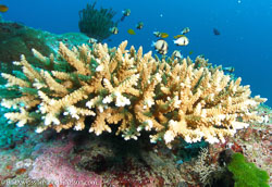 BD-070405-Similan--Coral-4.jpg
