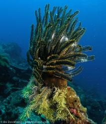 BD-070405-Similan--Sea-lilie.jpg