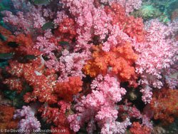 BD-070410-Ao-Nang-4100585-Anthozoa--Corals--Koralldjur.jpg