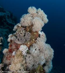 BD-090404-Marsa-Alam-4042444-Coral,-Xenia-sp.-Lamarck.-1816.jpg