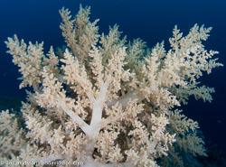BD-090404-Marsa-Alam-4042474-Coral.jpg