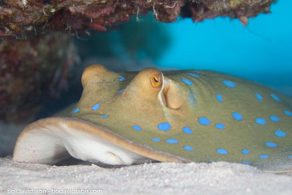 Taeniura lymma (Forsskål. 1775) - Ribbontail stingray - St John´s Reef, Egypt, 2010.