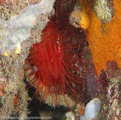 BD-080330-Lembeh-3302274-Sea-urchins.jpg