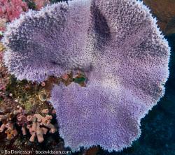 BD-080402-Bunaken-4020954-Coral.jpg